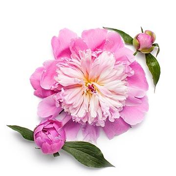 bulgarusche rose